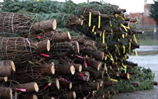 新购圣诞树上惊现黄蜂窝 墨尔本母亲挂饰品被蜇伤