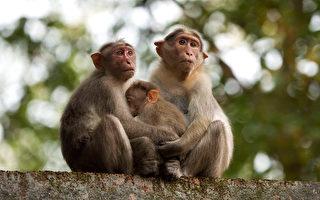 為嚇阻猴子入侵 印度農夫將小狗塗畫成老虎