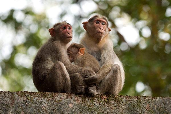 为吓阻猴子入侵 印度农夫将小狗涂画成老虎