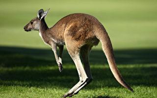 澳洲袋鼠打架 两条后腿可腾空飞踢