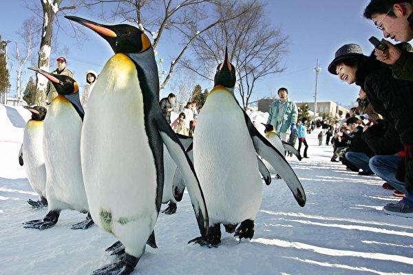 国王企鹅住在日本家庭里 会自己到市场买鱼