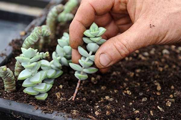 André Labat plants cuttings in his cactus plantation on July 27, 2016 in Guipavas, western of France. A real Breton weather in this late July near Brest, rain and twenty degrees only. Yet in the greenhouse of the cactuseraie Creismeas, a unique place in France, it's like been in the Mexican Valley of Tehuacan. / AFP / FRED TANNEAU (Photo credit should read FRED TANNEAU/AFP via Getty Images)