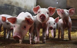 大陸非洲豬瘟重燃 豬仔價格暴漲