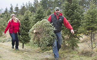 加拿大真圣诞树短缺 价格涨