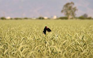 """美中协议  农业赢家非大豆 是""""小麦"""""""
