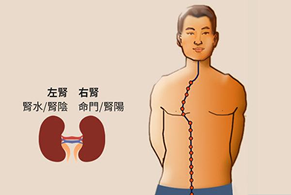 肾有两个,中医把左边称为肾,是指肾水,又称为肾阴;右边称为命门,是指肾火,又称为肾阳。(大纪元制图)