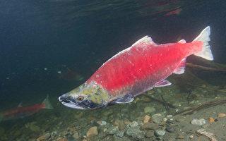 卑养鱼场失火 2万大西洋鲑鱼入太平洋