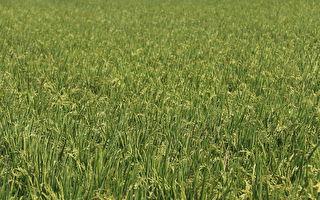 稻作直接给付申报  每期作每公顷1至1.65万元