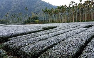 寒流來襲茶園降霜 早春茶區茶農因應避免損害