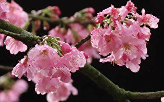 组图:台湾阿里山区雾雨中的樱花之美