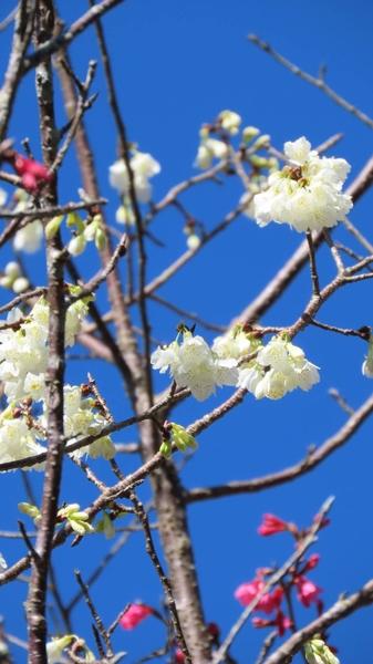 阿里山白櫻花之美--台灣特有福爾摩沙櫻