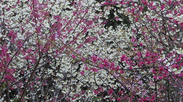 組圖:台灣阿里山白櫻花之美