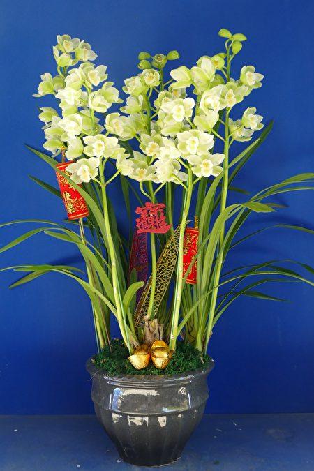 虎头兰花型大、数量多,适合过年期间拜拜、送礼或布置家居环境。