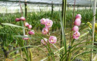 鱼池盛产虎头兰 适合过年期间来赏花