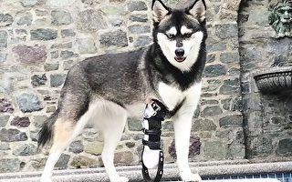 美国义肢公司16年助2.5万动物重获新生