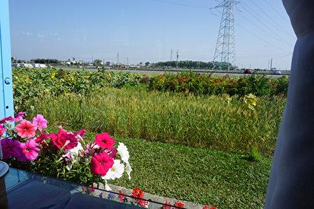 坐在靠窗的餐桌上,一眼就可以看到小麥, 紅藜麥及向日葵