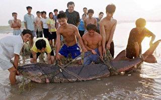 """""""中国淡水鱼之王""""长江白鲟被宣告灭绝"""