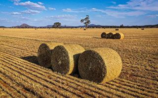 中共拒绝发放许可 澳洲干草贸易受威胁
