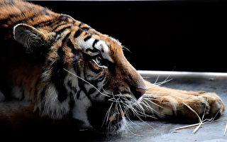 大老虎從背後「偷襲」小男孩不成 午餐泡湯