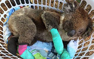 澳洲野火肆虐 鳄鱼先生一家救下9万只动物