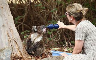 山火重創澳洲國寶 考拉或被列入瀕危物種