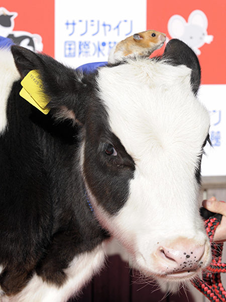 "A calf and a hamster are displayed during a ceremony held to mark the passage from the Chinese ""Year of Rat"" to the ""Year of Ox"" at the Sunshine International Aquarium in Tokyo on December 26, 2008. AFP PHOTO / TOSHIFUMI KITAMURA (Photo credit should read TOSHIFUMI KITAMURA/AFP via Getty Images)"