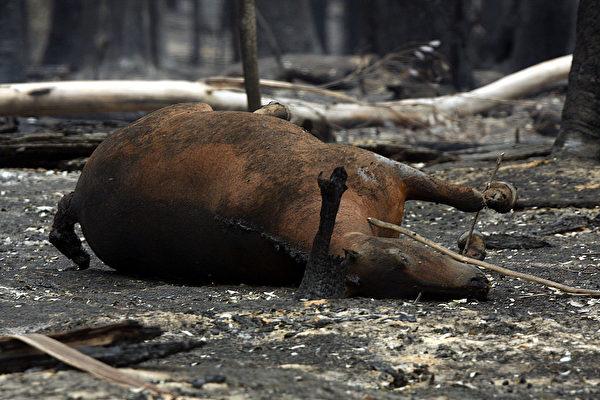 不計其數的動物在澳洲山火中死去。(Luis Ascui/Getty Images)