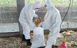 屏東土雞場染禽流感  撲殺逾8千隻雞