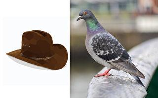 誰把牛仔帽戴鴿子頭上?看似可愛吸睛卻會致命