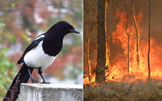 澳洲喜鵲竟唱出消防警笛聲 背後見證野火災難