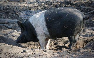400磅寵物豬走失 警察找到託鄰居1H後悲劇了
