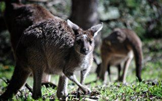 山火致大量動物死亡 維州暫停捕殺袋鼠