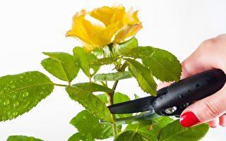 如何修剪玫瑰