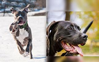 狗狗报恩 2只比特犬成了主人的救命英雄