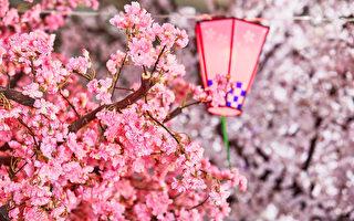 组图:紫藤樱花齐争艳 赏花野餐春游趣