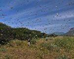 蝗蟲集體進攻 為何單單繞開他們