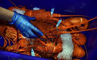 西澳龍蝦業緩慢重啟