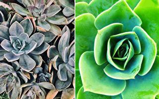 超美多肉植物「山地玫瑰」花語:永恆的愛和美