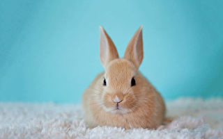 8岁富贵兔坐商务舱回日本 它还是空姊的VIP
