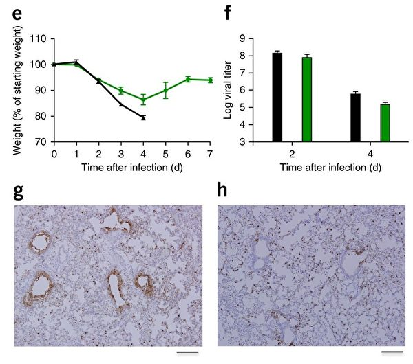 論文所附圖像局部。e為感染SARS冠狀病毒(黑色)和新型嵌合病毒(綠色)的小鼠,隨感染時間體重減輕的曲線。f顯示了小鼠感染這兩種病毒2天和4天後,病毒在肺部的複製情況。g和h 分別顯示了小鼠從呼吸道感染SARS病毒和嵌合病毒後,肺部病變的影像。 (Nature Medicine, CC)
