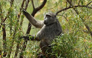 南非狒狒抱幼狮上树 如动画《狮子王》情节