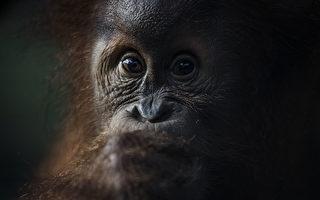 误以为人类受困 印尼善心红毛猩猩伸手搭救