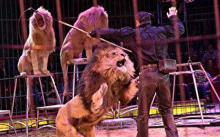 俄马戏团三只雄狮演出时互斗 吓跑观众