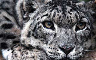罕見「粉紅豹」在俄羅斯被拍到