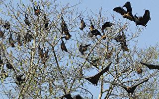 「蝙蝠龍捲風」侵襲澳洲小鎮 黑壓壓一片