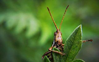 蝗虫群攻官府异象 为何吃尽画像人头?