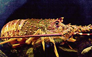 中共肺炎爆发 新西兰放生龙虾