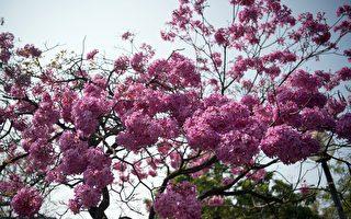 春游嘉市赏花  风铃木粉红金黄先后吐露芬芳