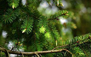 後院松樹「無故」死掉 墨爾本老夫婦遭罰