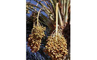 科學家成功讓兩千年前椰棗種子發芽